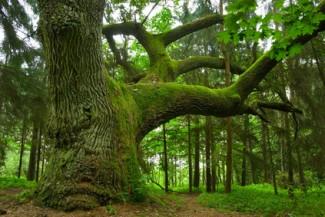 Alter mit Moss überwachsener Baum - Metapher Probleme und Sorgen