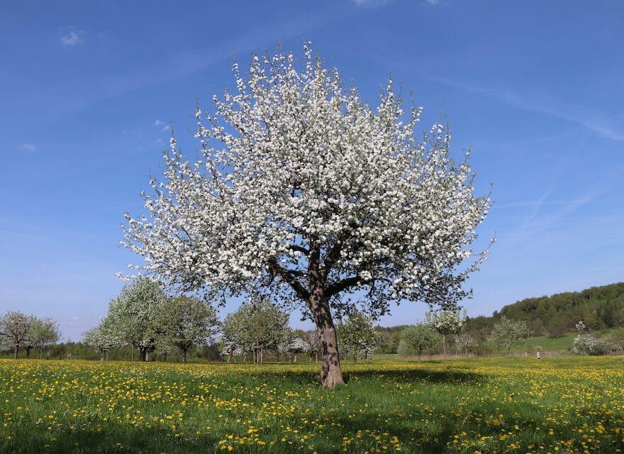 Zitate aus der Bibel - Baum im Frühling
