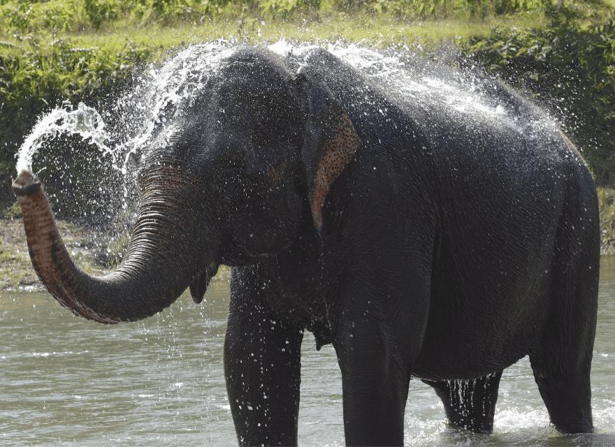 Abhauen und so richtig loslassen - Elefantendame badet