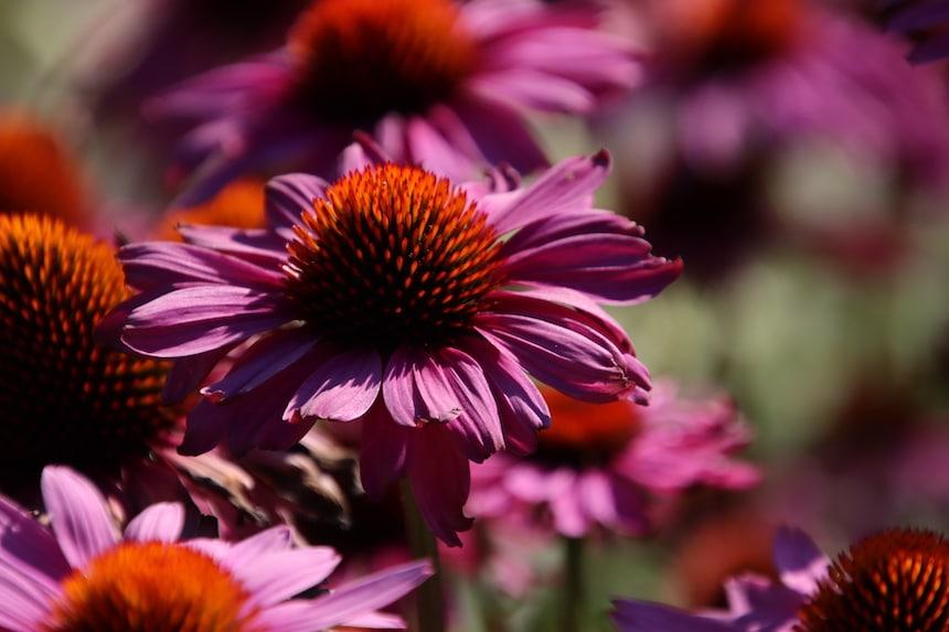 Sonnenhüte violette Blüten