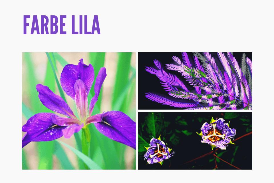 Lila Blumen - Das Geheinis der Farbe Lila