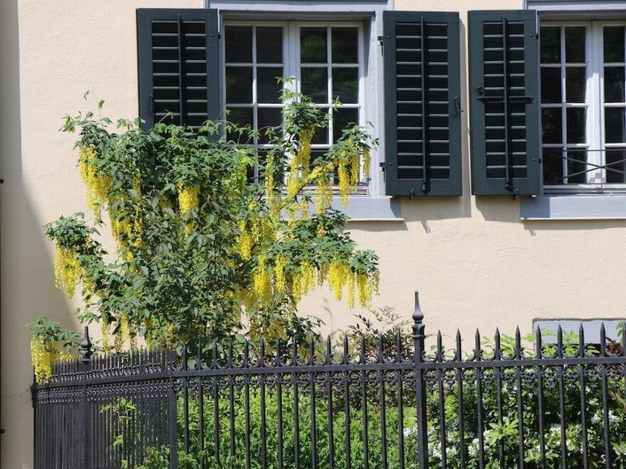 Definition Metapher - Bildlich schöne gelbe Staude vor einem Haus