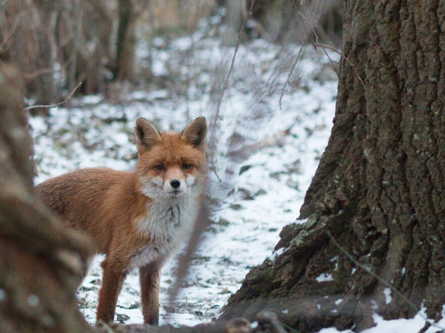 Fuchs Den Winter loslassen