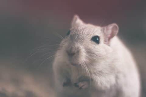 Wettrennen zwischen Ratte und Hund