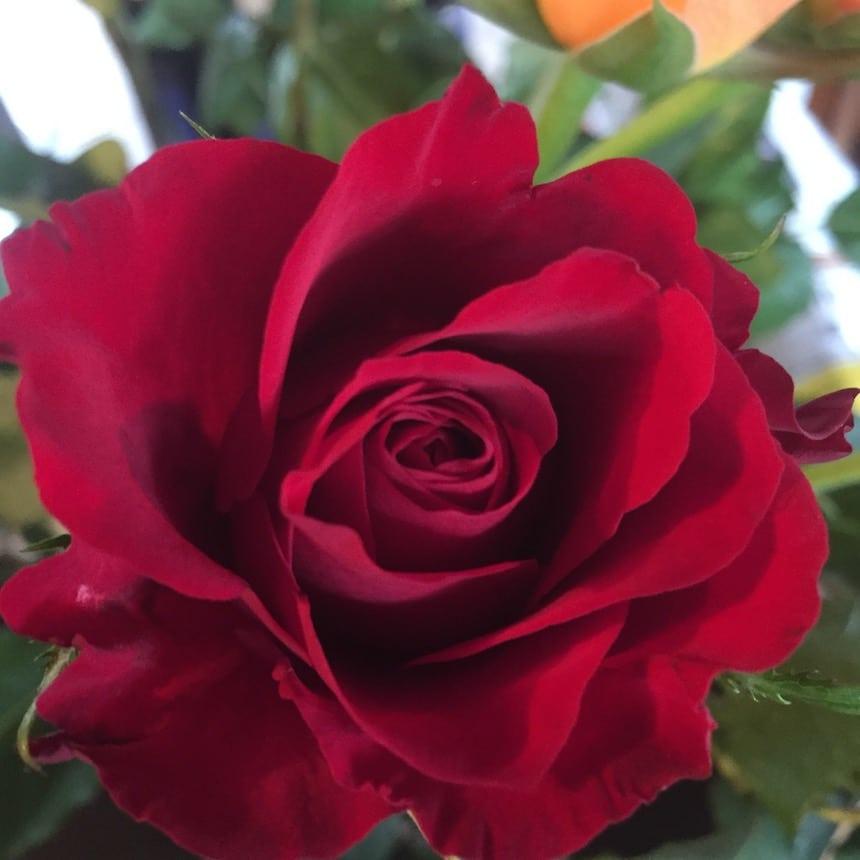 duftende rote Rose