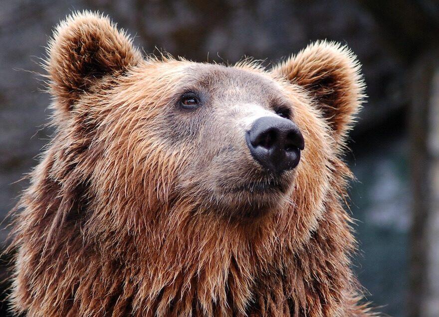 Ein Bärenstarker Auftritt - Ein Brunbär