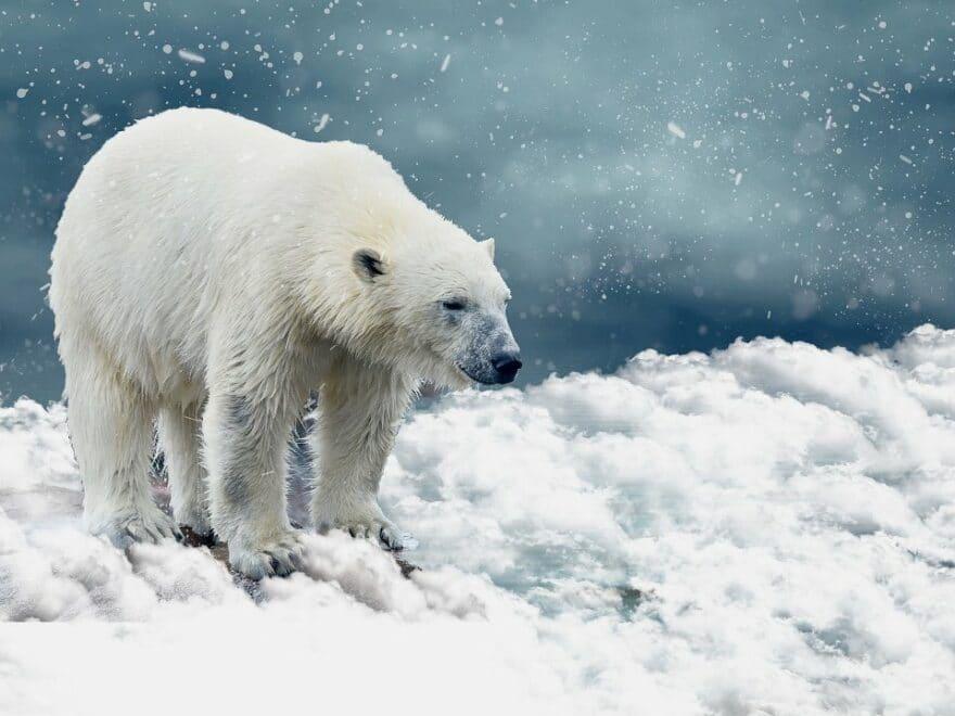 Der Eisbär aus nächster Nähe gefilmt