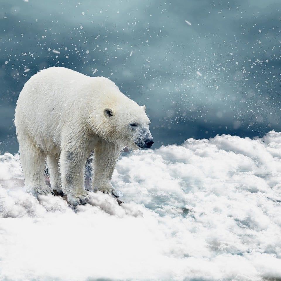 Eisbären DoKu - Der Eisbär aus nächster Nähe gefilmt