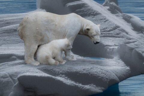 Eisbärfamilie unterwegs zum ersten mal unterwegs