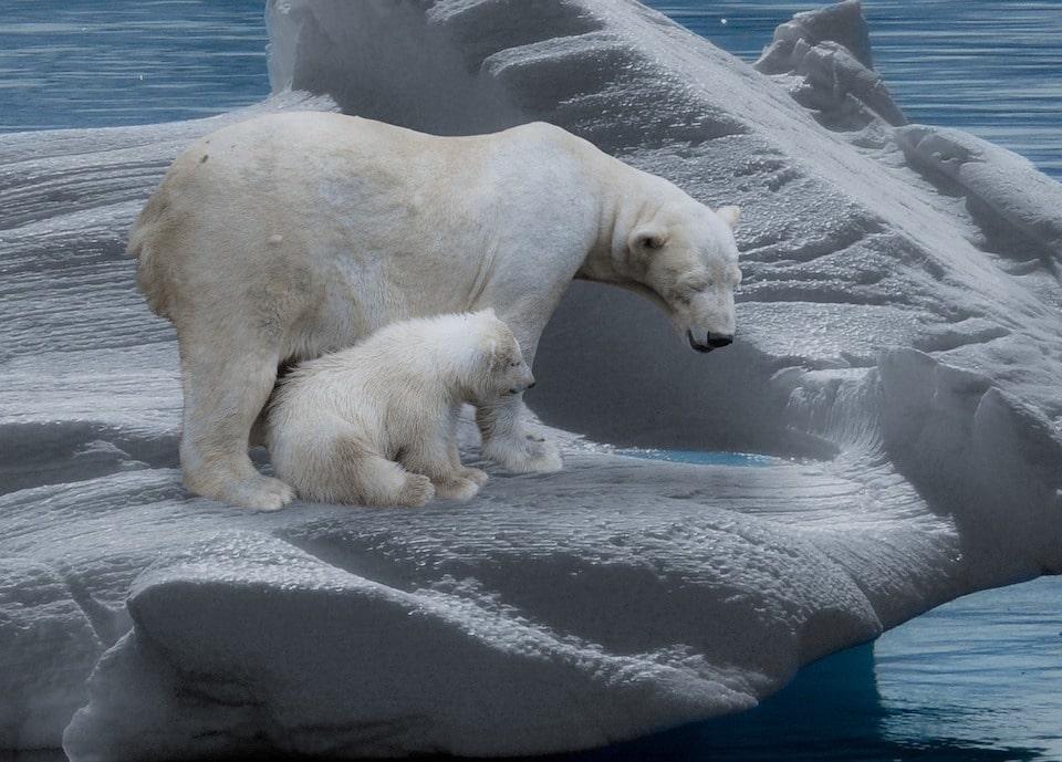 Naturerlebnis | Eisbärenfamilie unterwegs