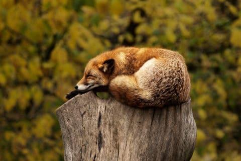 Entspannungsvideo - ein Fuchs entspannt sichh