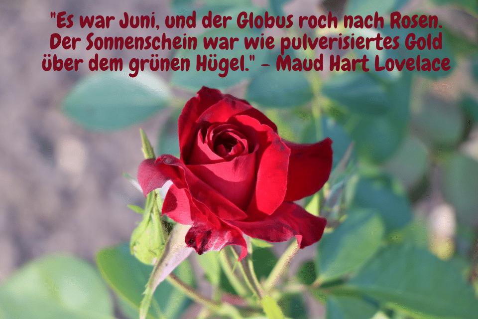 Rote Rose - Es war Juni, und der Globus roch nach Rosen. Der Sonnenschein war wie pulverisiertes Gold über dem grünen Hügel. - Maud Hart Lovelace