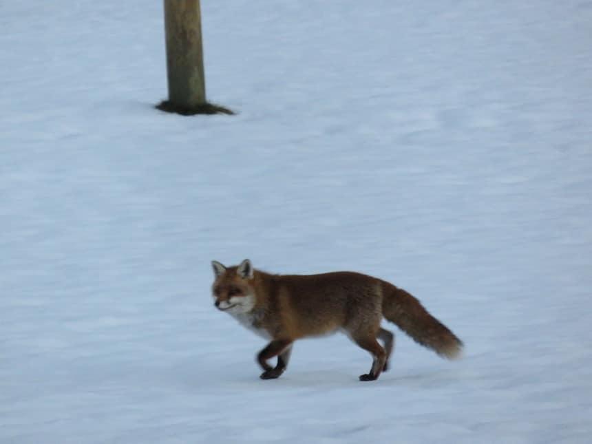 Fuchs auf seiner Jagt 1 1