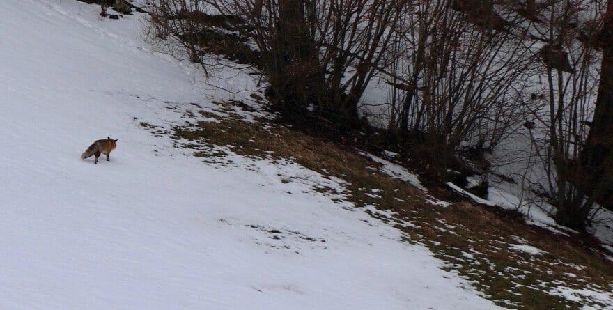 Fuchs auf seiner Jagt