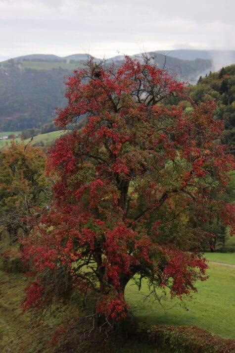 Schöner roter Herbstbaum