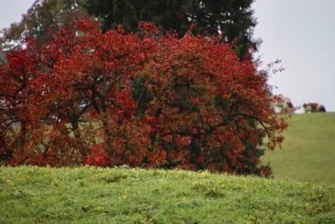 Wilde Rosenstaude Hagenbutte Herbst