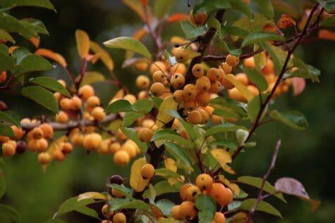 Orange Beeren im Herbst