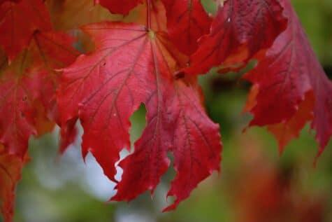 Rotes Herbstblattweisheiten herbst sprüche