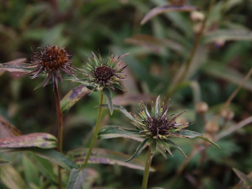 Echinaforce Blüte im Herbst