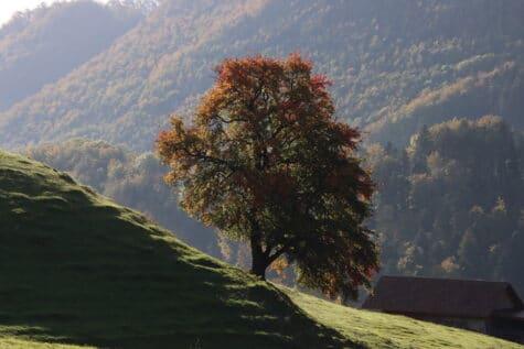 Prächtiger Herbstbaum Mümliswil