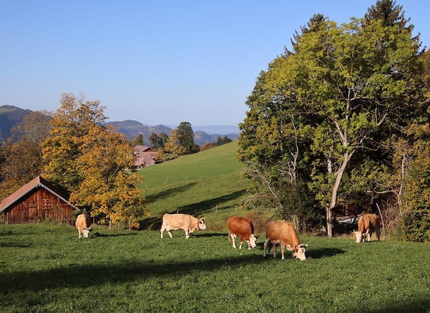 Kühe mit Hörner Naturpark Thal Mümliswil