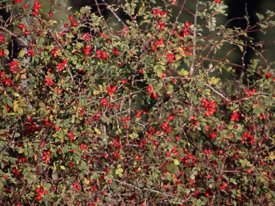 Wein Rose in voller Herbstpracht