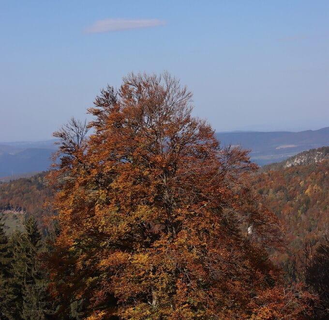 Herbstbaum mit glodgelben Laub