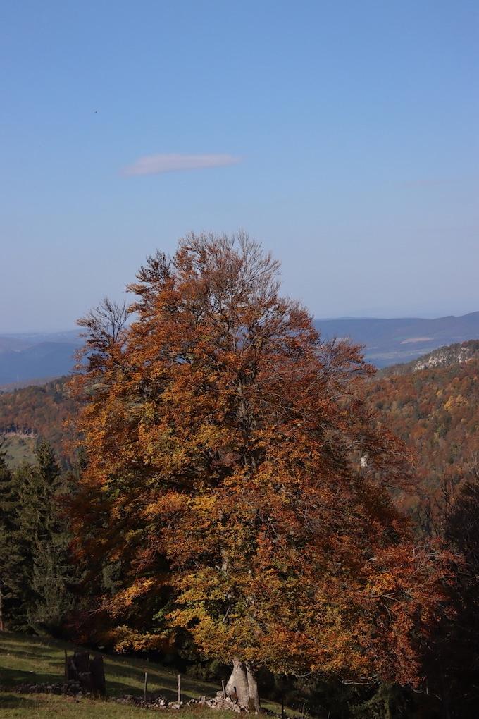 herbst-fotos-solothurn - Herbstbaum mit glodgelben Laub