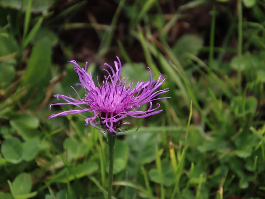 Violette Woesenflockenblume Nahaufnahme