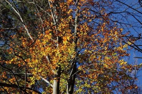 Goldgelbes Waldlaub im Herbst