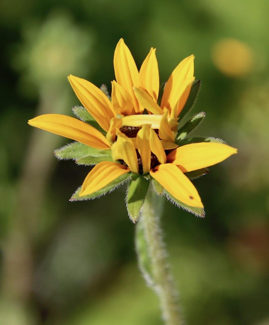 Gelbe Sonnenblume - Laotse zitate