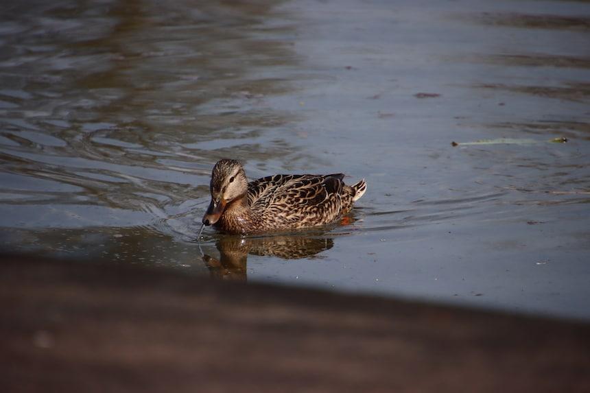 Die Ente Im Wasser - Im Falle des Schwimmens vertraue der Balance, dass Du nicht sinken wirst