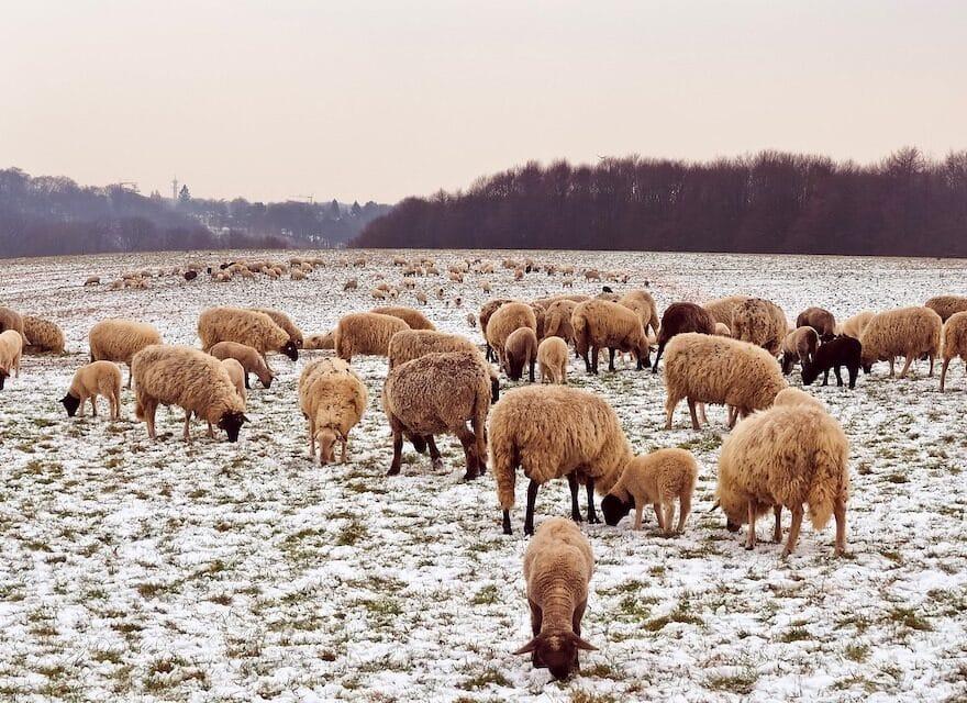 Schafe suchen passende Klamotten
