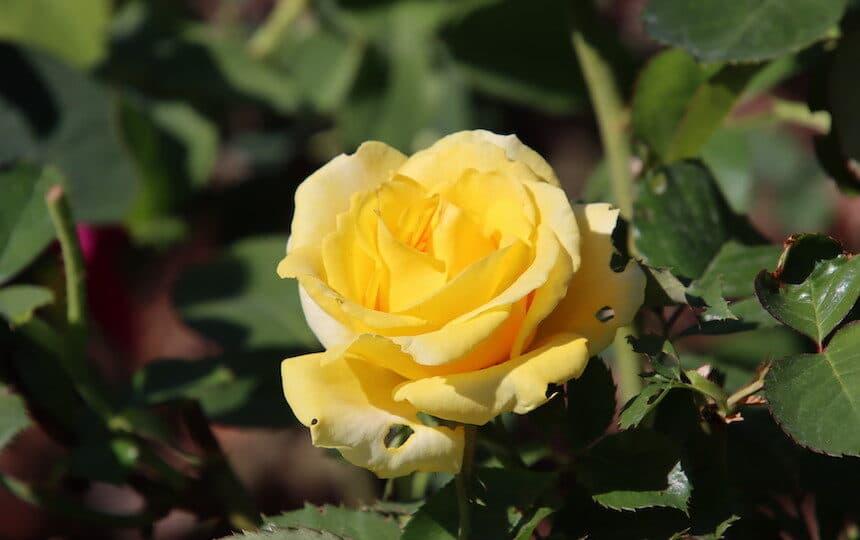 Schöne Lebensweisheiten Bild von einer gelben Rose