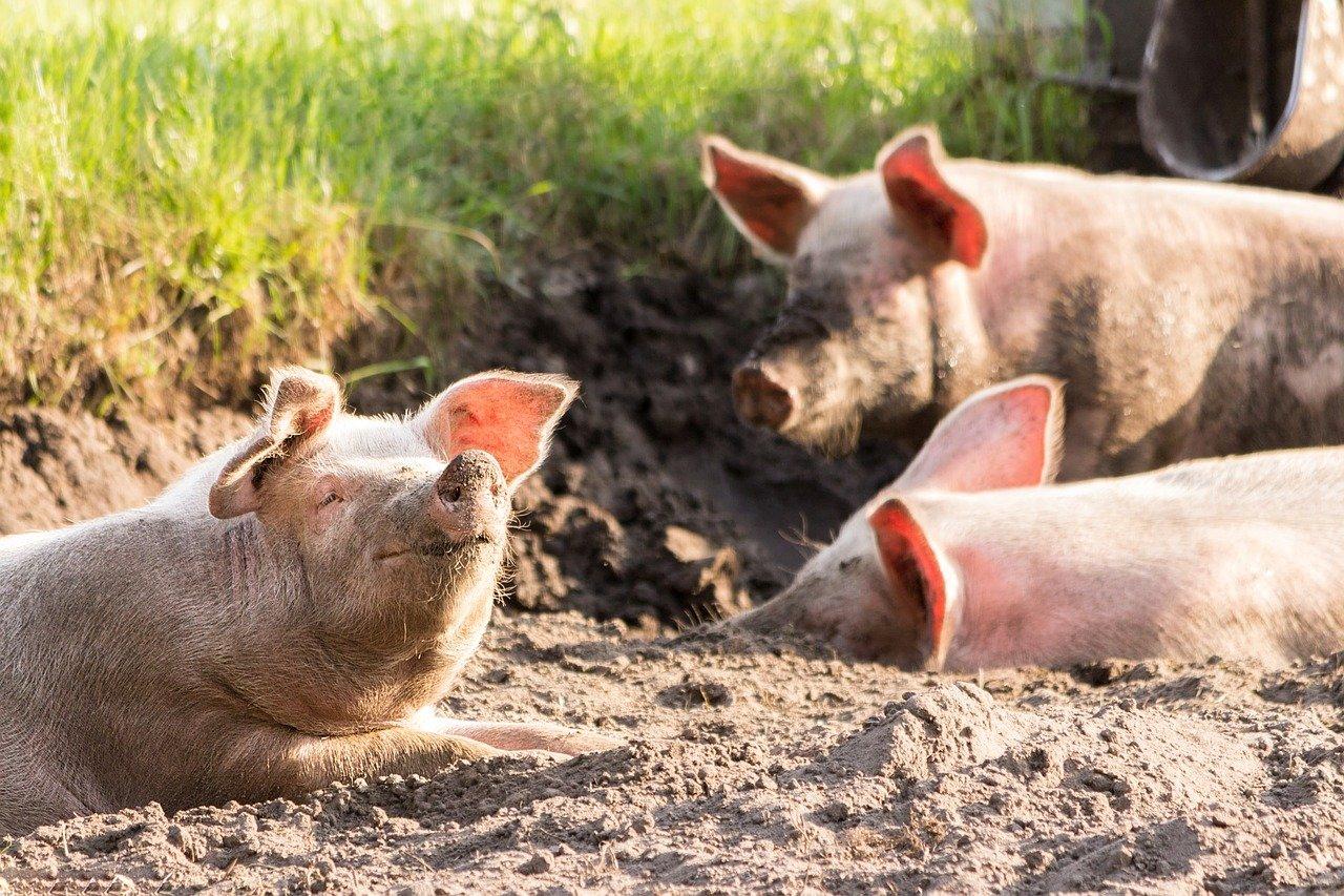 Schweine die lachen