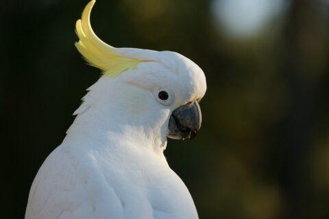 Tanzender Vogel