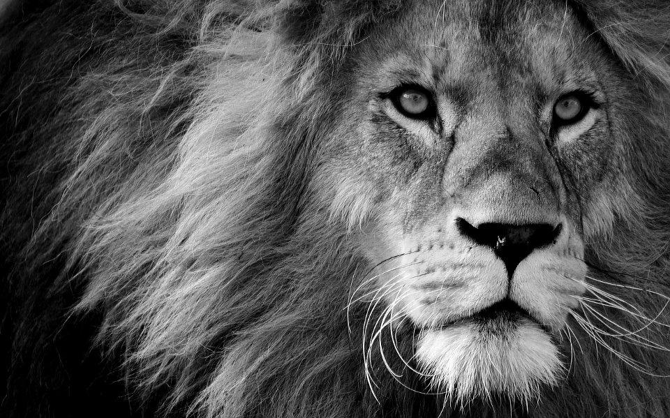 Ein Löwenkopf - WWF in Deutschland | WWF Projekte in Deutschland