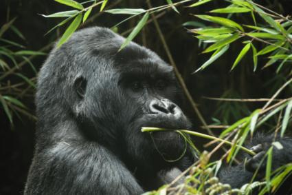 Ein Gorilla friss Bambus - Was fressen Gorillas?