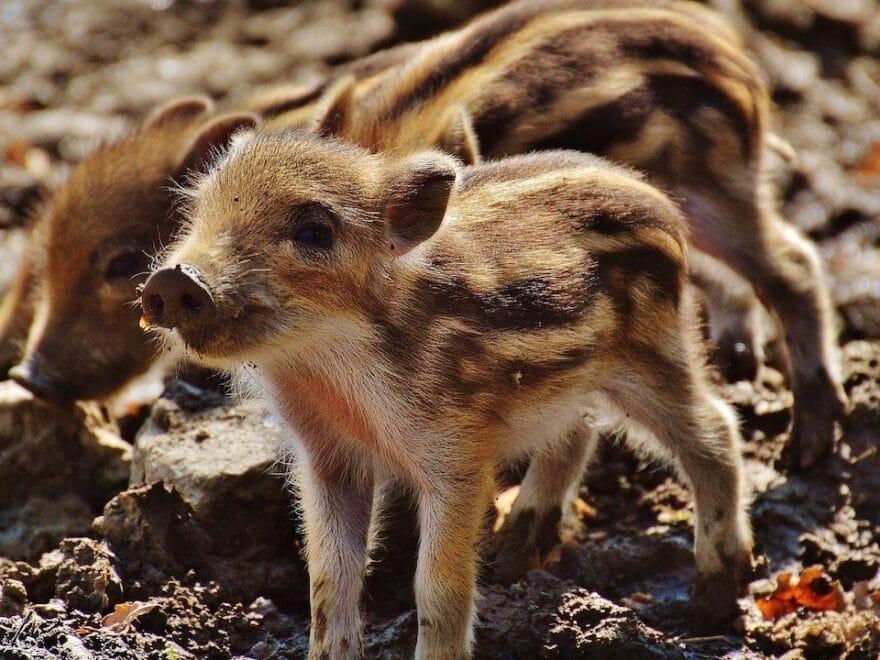 Wirklich Schwein gehabt
