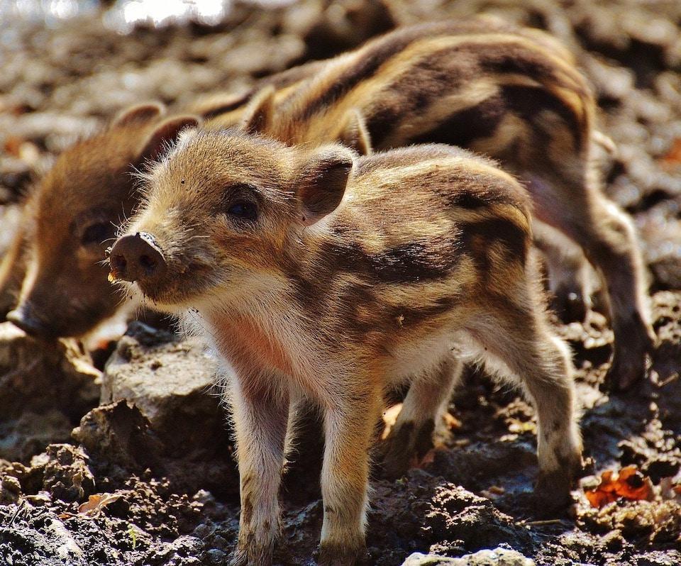Kleine Schweine Babys - Wirklich Schwein gehabt - Zwei tierische Freunde