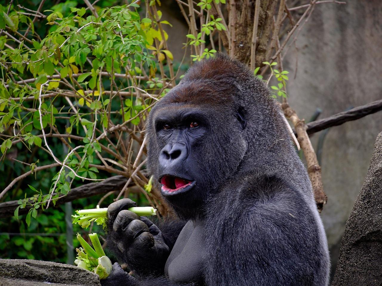 Ein Gorilla frisst Blätter - Gorillas sind reine Vegetarier