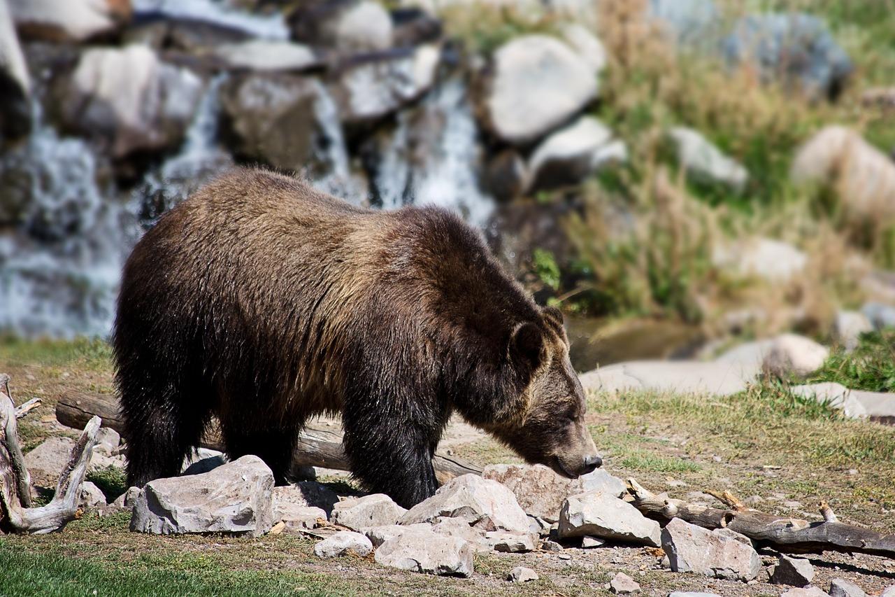 Grizzlybären unterwegs